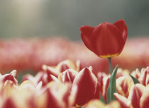 Single dark pink tulip rising above field of pale pink tulips von Panoramic Images