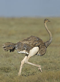 Side profile of an Ostrich running in a field von Panoramic Images