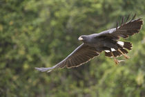 Great Black hawk (Buteogallus urubitinga) in flight von Panoramic Images