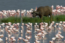 Cape buffalo and lesser flamingos by Panoramic Images