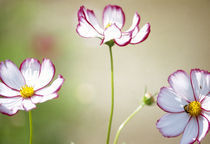 Close-up of cosmos flowers by Panoramic Images