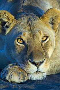 Close-up of a lioness by Panoramic Images