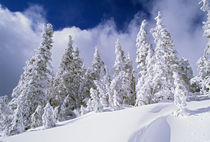 Low-Angle View Of Snow-Covered Pine Trees von Panoramic Images