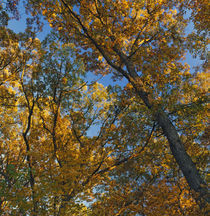 Low angle view of autumn color tree canopy by Panoramic Images