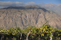 Crop in a vineyard, Cafayate, Calchaqui Valleys, Salta Province, Argentina von Panoramic Images