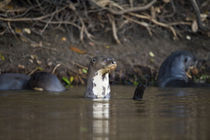Giant otters (Pteronura brasiliensis) in a river by Panoramic Images