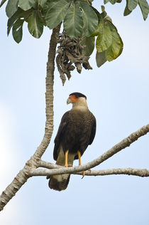 Crested caracara (Caracara cheriway) perching on a branch by Panoramic Images