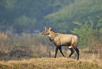 Nilgai (Boselaphus tragocamelus) walking in a forest von Panoramic Images