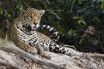 Jaguar (Panthera onca) snarling by Panoramic Images