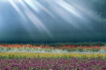 Field of multicolored flowers with streaks of white light rays by Panoramic Images