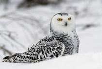 Snowy owl in snow, Michigan, USA. by Panoramic Images