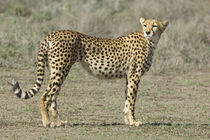 Side profile of a cheetah von Panoramic Images