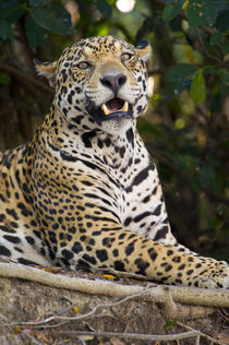Close-up of a Jaguar (Panthera onca) snarling by Panoramic Images