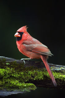 Male northern cardinal (Cardinalis cardinalis) on a mossy log von Panoramic Images