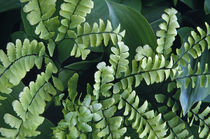 Maidenhair fern fronds, close up (Adiantum pedatum). by Panoramic Images