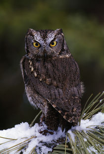 Eastern screech owl on pine tree branch, Canada. von Panoramic Images