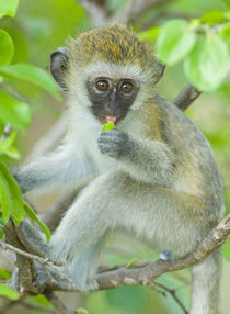 Vervet monkey sitting on a branch by Panoramic Images