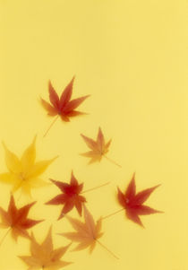 Red and gold maple leaves on a yellow background von Panoramic Images