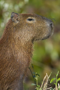Close-up of a Capybara (Hydrochoerus hydrochaeris) by Panoramic Images
