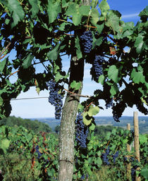 USA, New York, Finger Lakes, Lake Keuka, Hammondsport, Bunch of grapes on a vine von Panoramic Images