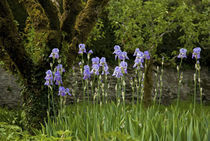 Iris and Old Espallier Apple Tree, Lismore Castle, County Waterford, Ireland by Panoramic Images