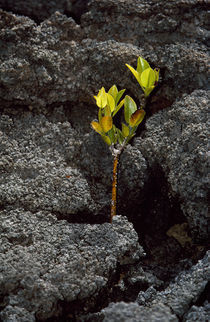 Plant growing in lava, Genovesa Island, Galapagos Islands, Ecuador von Panoramic Images