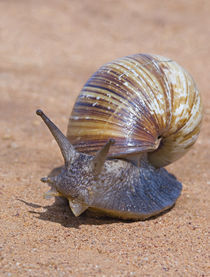 Close-up of a Giant African land snail von Panoramic Images