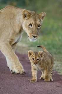 Close-up of a lioness and her cub von Panoramic Images