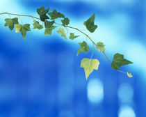 Green vine of ivy on deep blue von Panoramic Images