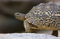 Close-up of a Leopard tortoise von Panoramic Images