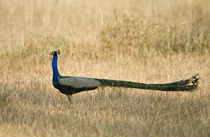 Peacock in a field by Panoramic Images