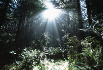 Sunshine Through Mist And Trees von Panoramic Images