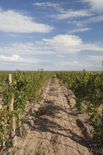 Crop in a vineyard von Panoramic Images