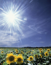 Bright burst of white light above field of sunflowers by Panoramic Images