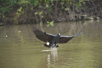 Great Black hawk (Buteogallus urubitinga) pouncing over water for prey von Panoramic Images