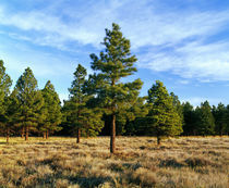 Frosted underbrush in ponderosa pine tree forest by Panoramic Images