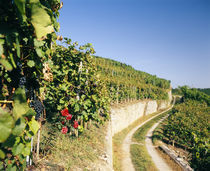Gravel road passing through vineyards by Panoramic Images
