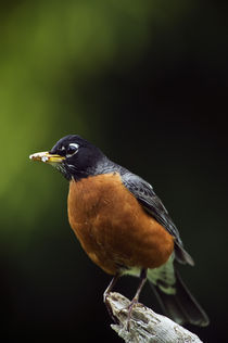 American robin (Turdus migratorius) on perch by Panoramic Images