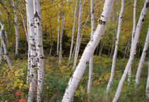 Stand Of White Birch Trees by Panoramic Images