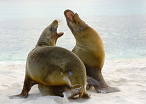 Two Galapagos sea lions (Zalophus wollebaeki) on the beach by Panoramic Images