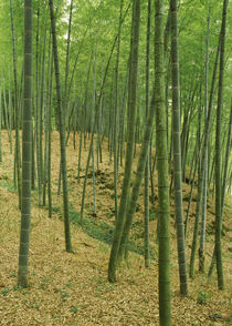 Bamboo trees in a forest, Fukuoka, Kyushu, Japan von Panoramic Images