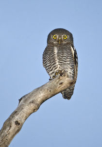 Owlet perching on a tree by Panoramic Images