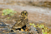 Close-up of a Short-Eared owl  by Panoramic Images