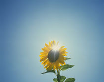 Low angle view of a Sunflower (Helianthus annuus) by Panoramic Images