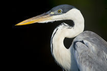 Close-up of a White-Necked heron (Ardea pacifica) by Panoramic Images