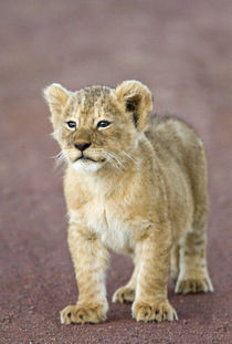 Close-up of a lion cub standing von Panoramic Images
