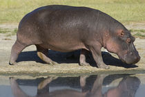 Side profile of a hippopotamus walking by Panoramic Images