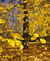 Close-up of yellow leaves of a tree, Stuttgart, Baden-Wurttemberg, Germany von Panoramic Images