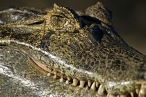 Yacare caiman (Caiman crocodilus yacare) by Panoramic Images