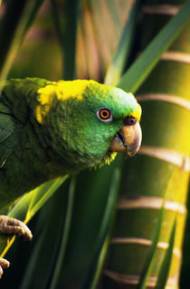 Yellow-naped amazon parrot on perch, portrait profile, Roatan, Honduras. von Panoramic Images